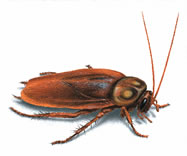 West Oaks Pest Control - Cockroaches - 805-642-6077