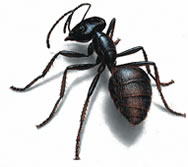 West Oaks Pest Control - Ants - 805-642-6077