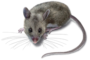West Oaks Pest Control - Mice - 805-642-6077