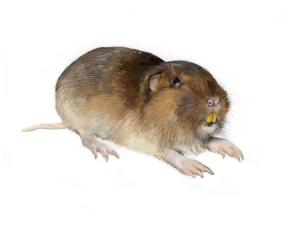 West Oaks Pest Control - Gophers - 805-642-6077