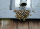 Bees-swarming-around-entrance-to-hive -